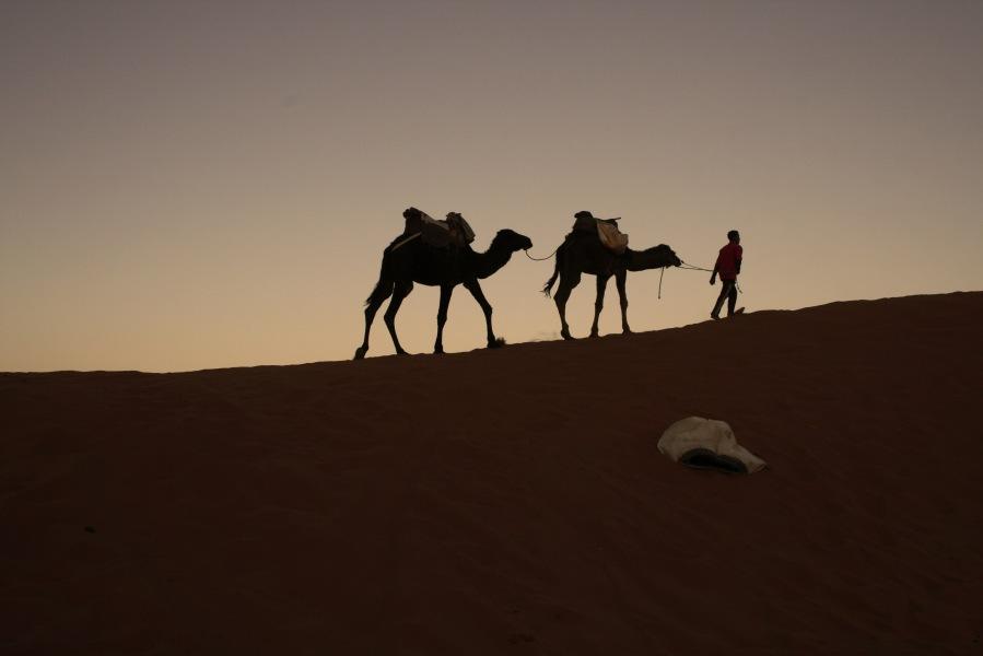 Camels being led